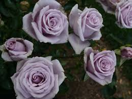 silver roses online store
