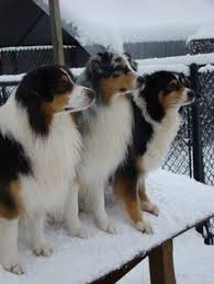 australian shepherd price my dog u003c3 an australian shepherd from thornapple kennels sighs
