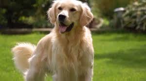 belgian shepherd golden retriever mix dog breeds rase list g giant schnauzer dog golden retriever dog
