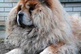 Do Newfoundlands Shed Year Round by Best Non Shedding Shedding U0026 Least Shed Dog Breeds List