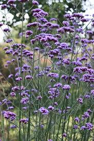 70 beautiful purple flowers care u0026 growing tips herbaceous