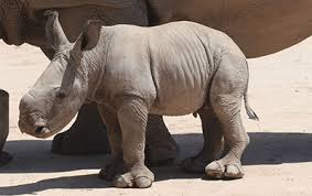 Taronga Zoo Christmas Party - rhino birth marks a magnificent christmas gift for taronga zoo