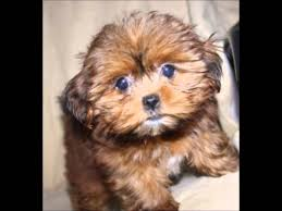 pictures of shorkie dogs with long hair watch a shorkie puppy grow youtube