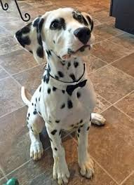 aaahhh happy picture dalmatian