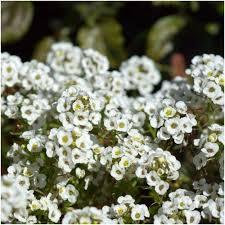 alyssum flowers carpet of snow alyssum seeds lobularia maritima seed needs