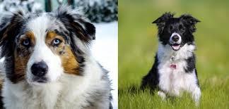 australian shepherd family dog between border collies and australian shepherds