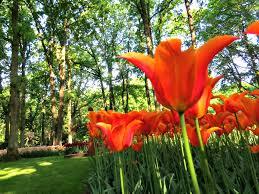 dutch flowers take a smell of dutch culture