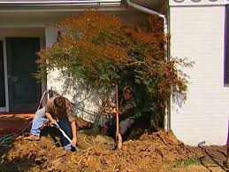how to transplant a japanese maple how tos diy