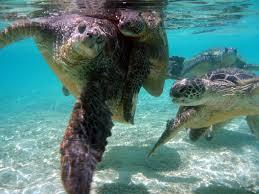 sea turtle photos noaa fisheries