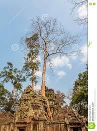 century trees ta prohm ancient temple angkor thom siem reap