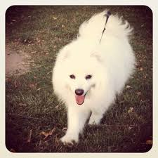 standard american eskimo dog vs samoyed the 29 best images about american eskimos and spitz dogs on pinterest