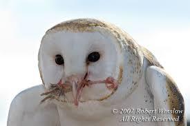 North American Barn Owl Owls Rwinslow
