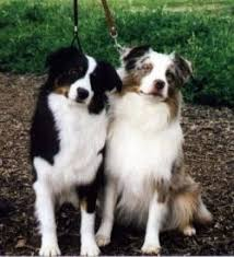 australian shepherd schnauzer mix miniature australian shepherd dog breed information and pictures
