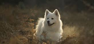 american eskimo dog winnipeg professional pet groomers association of manitoba professional
