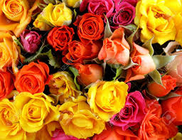 different color roses different color roses yellow pink background stock photo