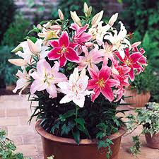Oriental Lilies Oriental Lily Flower Bulbs Buy 6000 Nursery Plants N Seeds Online