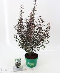 buy ornamental shrubs now common ninebark joker bakker