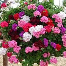 Summer Flower Garden Ideas - best 25 geraniums ideas on pinterest geranium plant geranium