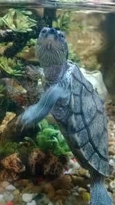 Texas Map Turtle A Endangered Yellow Map Turtle Turtles Pinterest Turtle