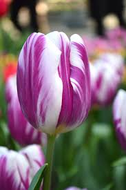 Flag Flower Tulip Flaming Flag Flower Bulbs Dutchgrown