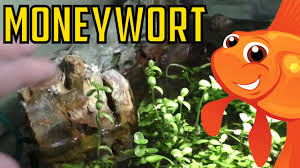 how to grow moneywort bacopa monnieri live aquarium plant