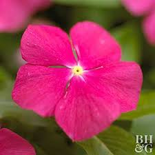 vinca flower annual vinca