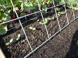 Cucumber Spacing On Trellis Another Cucumber Question
