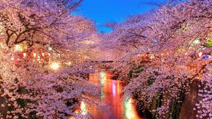 japan cherry blossom festival beautiful