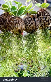moss hanging elegantly coconut shell stock photo 371450263