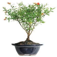pomegranate bonsai tree walmart com