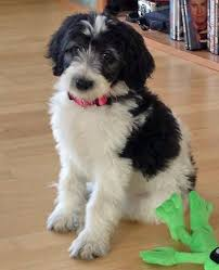 goldendoodle puppy treats 37 best glad goldendoodles images on the o jays