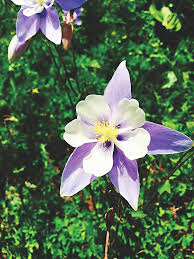 State Flower Of Colorado - talk a walk from aspen to crested butte aspentimes com
