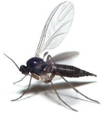 comment faire partir des moucherons dans une cuisine se debarasser des moucherons faire partir les moucherons des pots