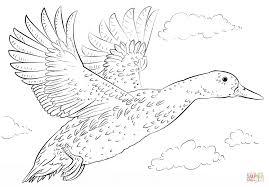 mallard duck coloring page eson me