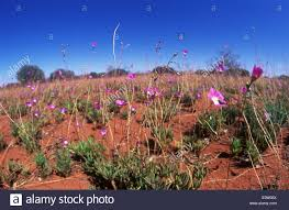 native desert plants australia native plants wildflowers a carpet of calandrina