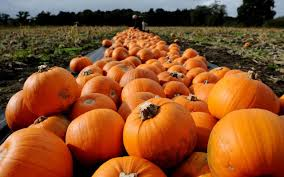 where to pick your own pumpkins this halloween