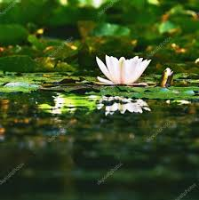 beautiful blooming flower white water lily on a pond nymphaea