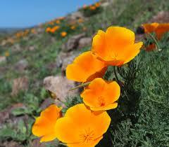 California Poppy Eschscholzia Californica California Poppy U2014 L U0026h Seeds Pacific