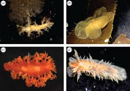 relationships within cladobranchia gastropoda nudibranchia