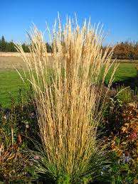 ornamental grasses karl foerster feather reed grass susan s