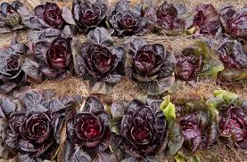 vegetable garden with purple radicchio plants vegetable