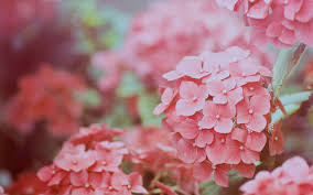 hydrangea wallpaper 14 flower wallpapers free download
