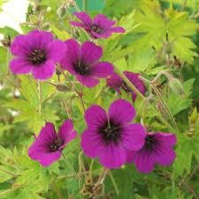 plante vivace soleil plantes vivaces geranium u0027anne thomson u0027 géranium vivace bec de