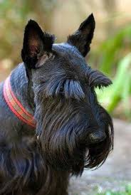 scottish yerrier haircuts scottish terriers lovetoknow