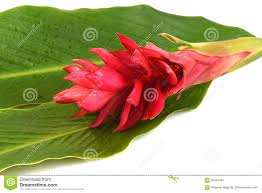 Red Ginger Flower - red ginger or ostrich plume and pink cone ginger flower stock