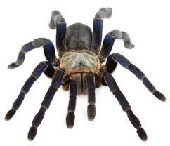 spider tarantulas for sale tarantula guide pets