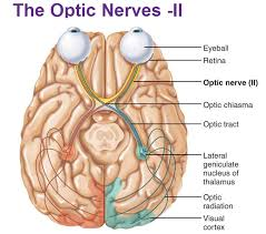 Thalamus Part Of The Brain Peripheral Nervous System Cranial Nerves