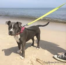 american pitbull terrier c raising a puppy mia the blue nose american bully pit 22 weeks old
