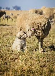australian shepherd herding sheep ella the australian shepherd herding lesson dog town pinterest