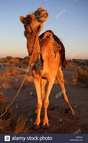 camel dung stock photos u0026 camel dung stock images alamy